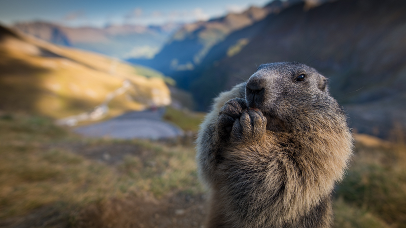 nikon 20mm 1.8g close up marmot