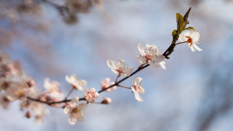 close up zeiss loxia 35mm 2.0 bokeh blossom kirschblüte cherry sony a7s