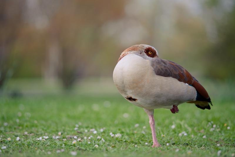 nikon nikkor manual focus ed 180mm ai ais ai-s tele lens fast sony a7r a7 a7ii a7s a7rii mark 2 series bokeh natur nature goose duck bird volgen